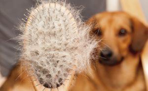 Perte de poils chez les chiens : explication et traitement