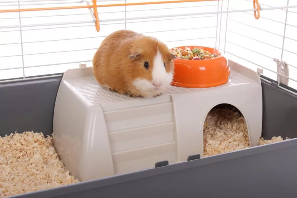 cochon d'Inde dans sa cage