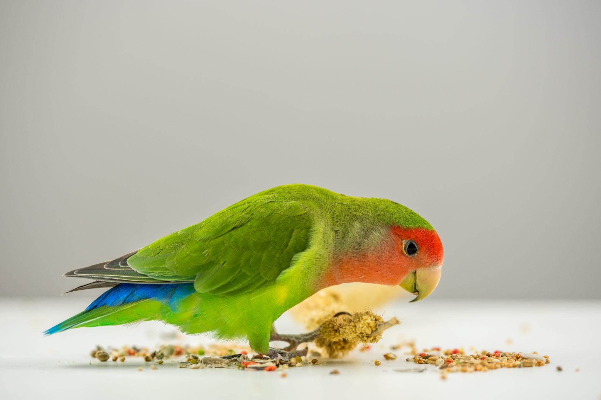 nourriture équilibrée pour son perroquet