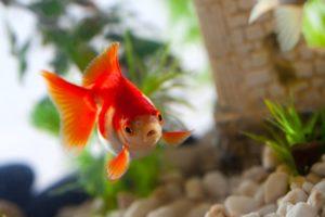 Top 3 des aliments à privilégier pour les poissons rouges