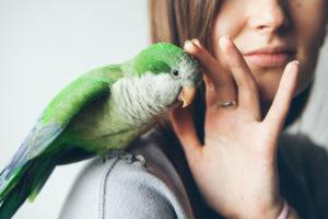 Comment apprendre à un oiseau à monter sur une épaule?
