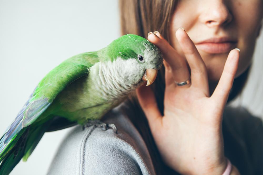 apprendre à un oiseau à monter sur une épaule