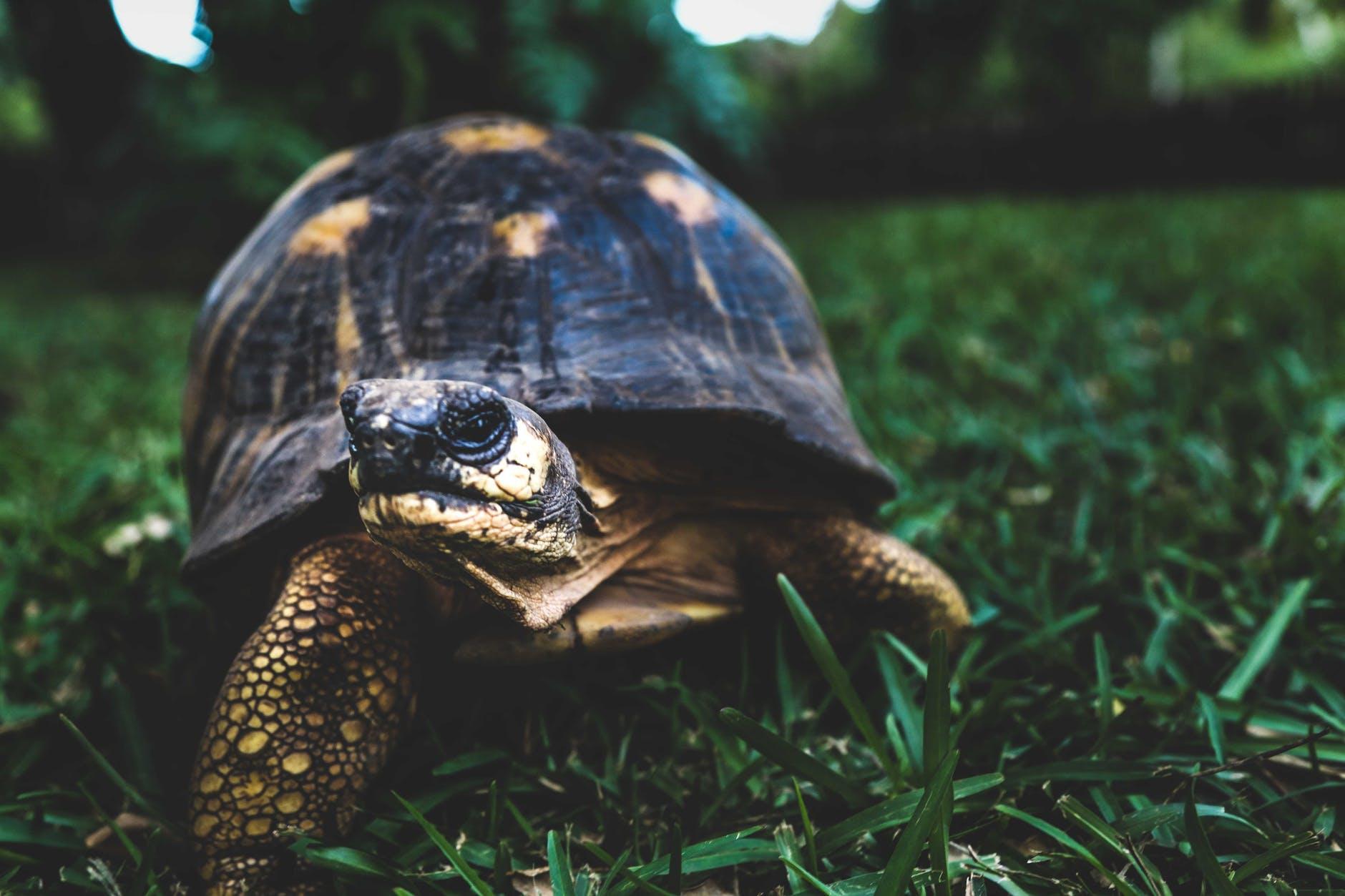 tortue en bonne santé