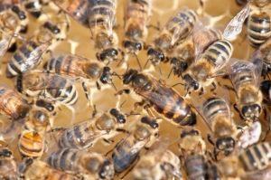 Apiculture : le mois favorable pour l'élevage des reines