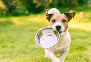 Caniche : guide pour une bonne alimentation